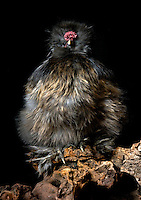 Silkie Chicken (Gallus domesticus). Captive.