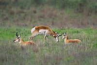 673080112 wild pronghorn antilocarpa americana graze and interact on a grassy hillside near canadian texas united states