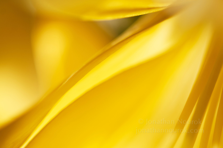 A close-up of a yellow Asiatic lily
