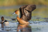 Fulvous Whistling-Duck, Dendrocygna bicolor | ROLF NUSSBAUMER PHOTOGRAPHY