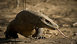 Komodo dragons use their long, forked tongues to sniff out prey and carrion.