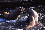 Steller sea lion bulls fight