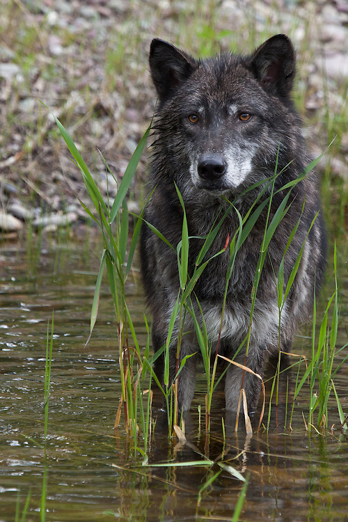 Grey Wolf watching through the grass in a pond - CA