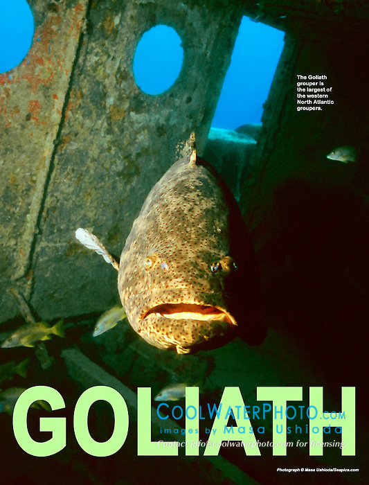 Goliath grouper or Jewfish, Epinephelus itajara, Tugboat wreck, Key West, Florida Keys National Marine Sanctuary, Atlantic Ocean
