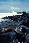 Sealion sleeping laying on rocks by edge of sea, waves, surf, Galapagos Islands .Galapagos....