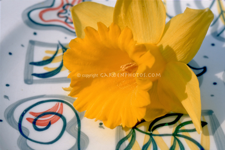 Narcissus 'King Alfred' daffodil on mid-century modern plate design