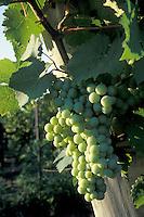 Niagara Grapevine