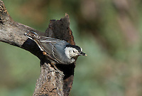 561250014 a wild white-breated nuthatch sitta carolinensis tenussuma perches on a branch in madera canyon green valley arizona united states