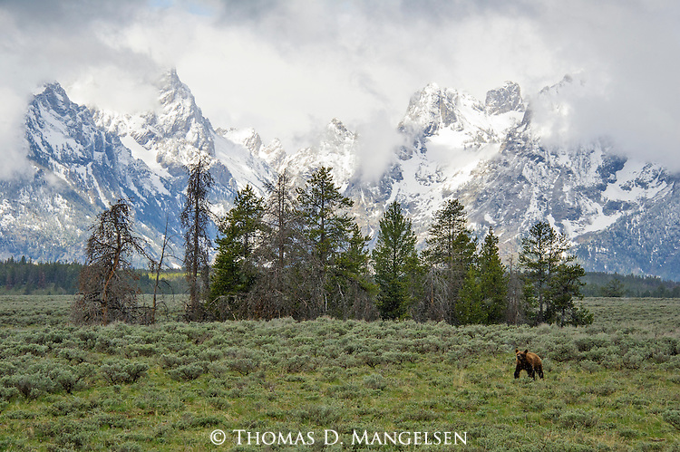A lone grizzly cub walks across the sage flats below the Tetons in Grand Teton National Park, Wyoming.