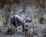 A warthog with two tiny offspring trailing behind ambles across a clearing in the woodlands of the Kwoando River region of northern Botswana