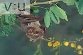 A Hairy Fruit Bat (Artibeus hirsutus) Alamos, Sonora, Mexico