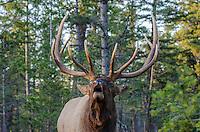 Rocky Mountain Elk Bull (Cervus canadensis nelsoni) bugling.  Northern Rockies.  October.