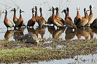 Whistling teal aka whitefaced duck (dendrocygna viduata) keeping their distance to the lazy nile crocodile (crocodylus niloticus).<br /> Moremi, Botswana.<br /> September 2007.