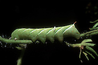 Garden insect pest Tomato Hornworm parasitized by Braconid wasp