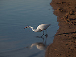 A Great Egret listens and watches for fish beneath the surface of the water