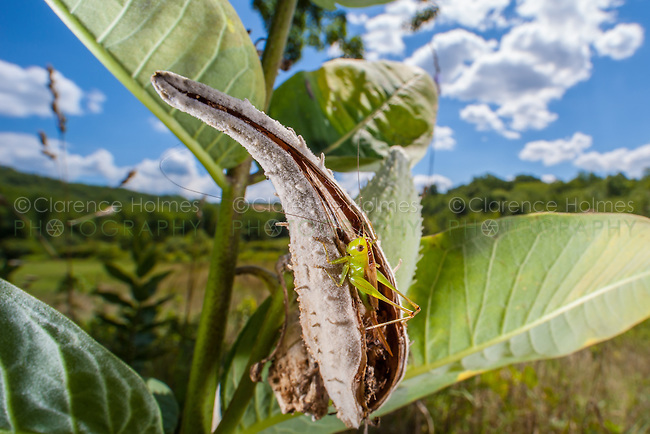 A female Short-winged Meadow Katydid (Conocephalus brevipennis) perches inside a Common Milkweed seed pod.
