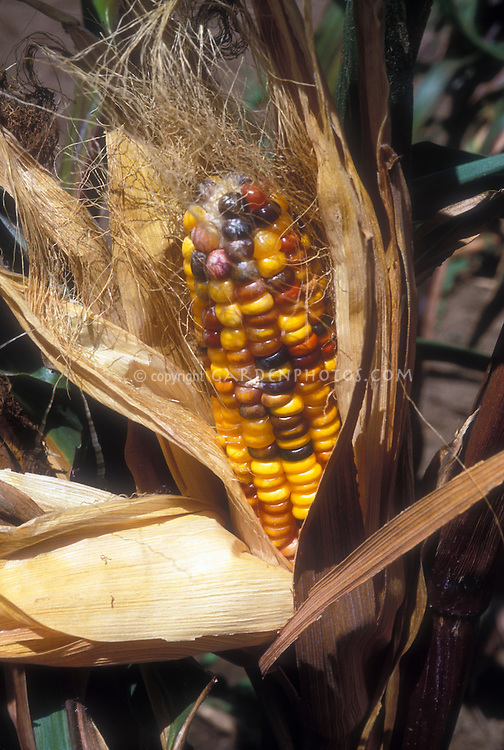 Ornamental corn Zea mays Rainbow Indian Corn Chinook with multi colored kernels on corn cob growing on plant