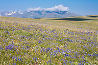 Wildflowers in bloom on Rattlesnake Mountain in the Shoshone National Forest