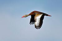 Black-bellied Whistling-Duck in Flight