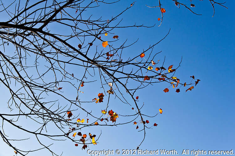 Like periods, exclamation marks and question marks dangling at the end of branch-long sentences, orange and yellow leaves continue to cling, making their final statements, posing their final questions.