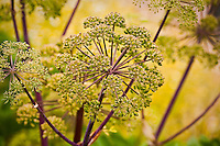 Angelica (Angelica archangelica) medicinal plant umbel seed pod in herb garden