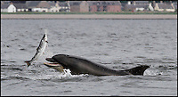 BNPS.co.uk (01202 558833)<br /> Pic: AlistarKemp/BNPS<br /> <br /> ***Please Use Full Byline***<br /> <br /> Lunch...an unfortunate salmon caugt by the dolphins.<br /> <br /> The bottlenose dolphin is well known for being a friendly creature, but this is the moment an entire pod showed another side to their playful nature.<br /> <br /> The clever animals had been laying in wait for the annual 'Salmon Run', where they could be guaranteed a tasty snack as hundreds of fish made the upstream struggle.<br /> <br /> As schools swam from the sea back to freshwater to spawn, a group of dolphins showed off their predatory skills and began to hunt them.<br /> <br /> They performed incredible acrobatic skills as they shot into the air and sometimes two or three would attempt to go after the same fish.<br /> <br /> The pod of 20 dolphins were spotted hunting their supper at Chononry Point near Fortose on the Moray Firth in Scotland.<br /> <br /> There is believed to be around 300 bottlenose dolphins - Tursiops truncatus in Latin - in the area, which is the most northern colony in the world.<br /> <br /> Amateur photographer Alister Kemp, 47, was watching from the shore and managed to captured a series of stunning shots.