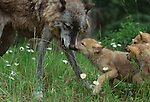 Grey wolf and pups, Montana