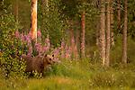 Finnish Bears Special