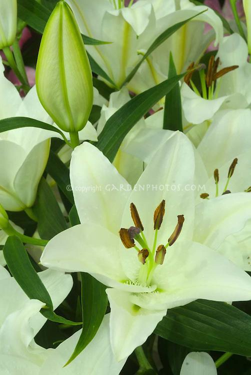 Lilium 'Universe' (Oriental lily) white