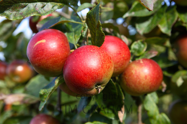 English apples growing in a country orchard, United Kingdom RESERVED USE - NOT FOR DOWNLOAD -  FOR USE CONTACT TIM GRAHAM