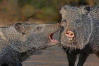 650520082 wild javelinas or collared peccarries dicolytes tajacu bluff fight in the rio grande valley of south texas