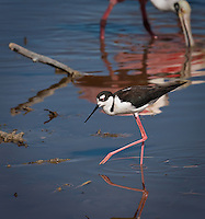 Black Necked Stilt walking in water with one pink foot up midair with Roseate Spoonbills in background