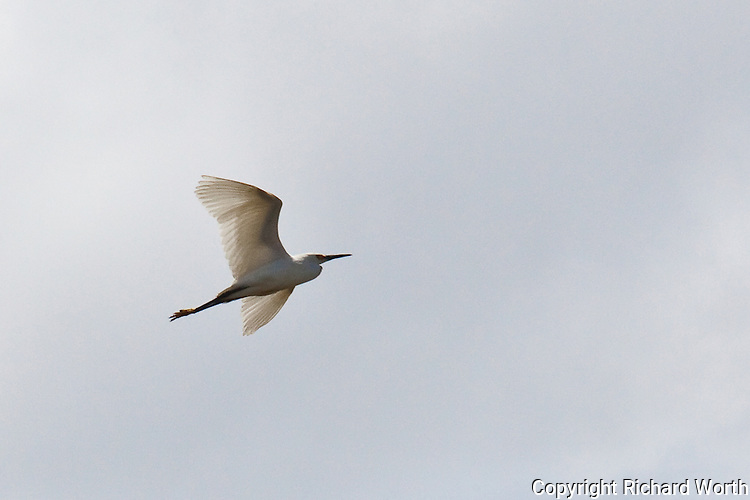 A snowy egret in flight over the reclaimed habitat of the Don Edwards San Francisco Bay National Wildlife Refuge.