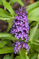 Buddleia Buddleja Purple Emperor