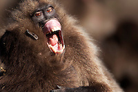 Gelada aggressive flip lip display (Theropithecus gelada), Simien Mountains National Park, Ethiopia.