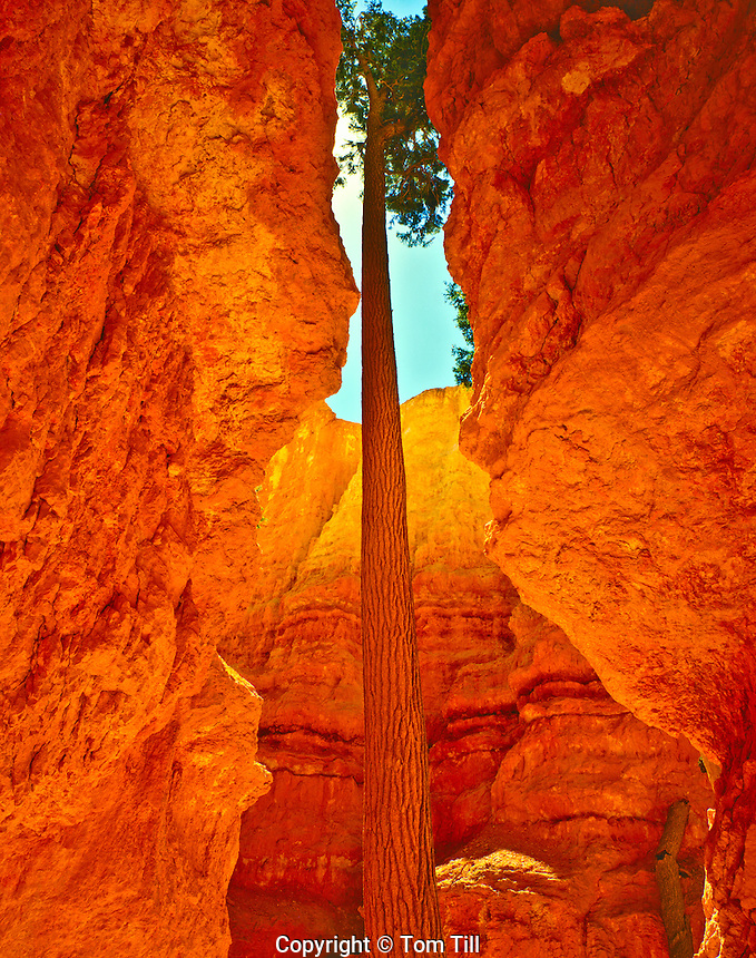 Douglas Fir Tree in Summer Afternoon Light, Bryce Canyon National Park, Utah   Wall Street interior