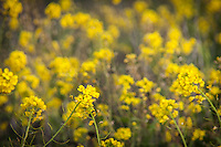 Two field mustard flowers stand out against a soft-focus background of more of the yellow flowers.  Pescadero State Beach on the California coast.