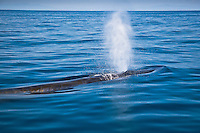 Brydes`s whale spouting in the Pacific ocean off the coast of Kochi, Japan,