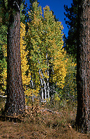 &quot;Autumn Aspens 3&quot;- Photographed in the Tahoe Donner area of Truckee, CA, near the Equestrian Center.<br />
