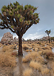 Joshua Tree (Yucca brevifolia) in the Mojave Desert, is ironically inundated by surface rain water runoff after a heavy rain storm in Joshua Tree National Park, California.  Several studies have been done on these centuries-old trees.  In a current study, ecologists from the US Geological Survey linked climate change to population decline and are modeling the impacts of climate change on their survival, and the possibility that 90 percent will be wiped out of their current range (and out of the national park) in 60 to 90 years.