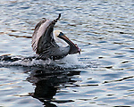 A pelican sprints away with a fish.  Tarpon Springs, Florida, USA.