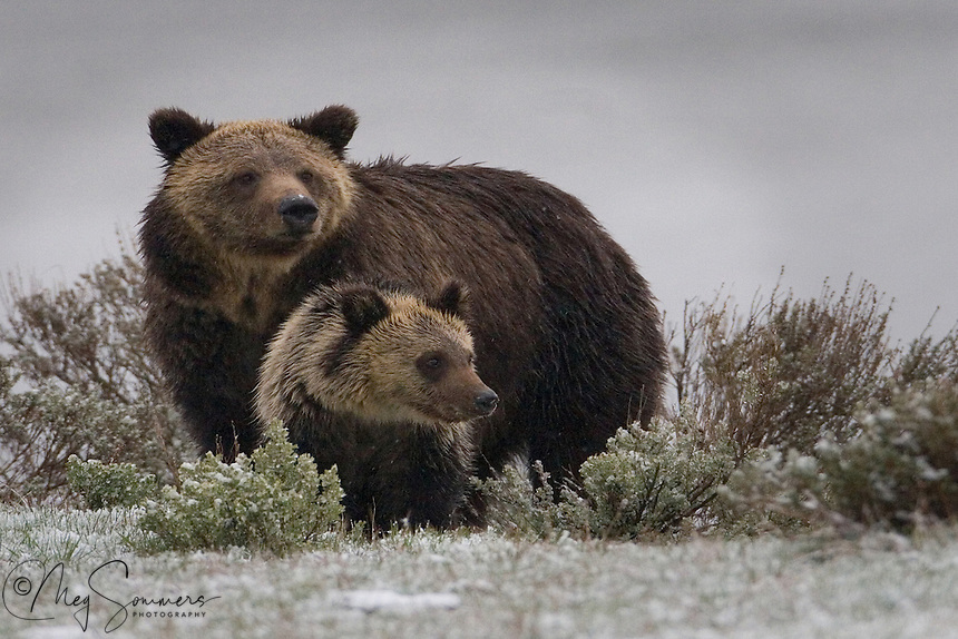 Spring in Yellowstone some years means late snows even into May and June - and sometimes July.  This grizzly  (Ursus arctos horribilis) pair had hunkered down in the near by sagebrush and after the storm passed, they went off on their way again. Indian Pond, Yellowstone.