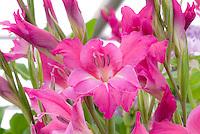 Gladiolus pink Gladioli flowers, summer flowering annual bulbs, make great cut flowers