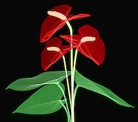 X-ray of Anthurium Flower. Anthurium bouquet (Anthurium andraeanum)