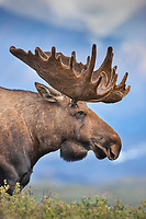 Portrait of a large bull moose in velvet antlers standing on the tundra in Denali National Park, interior, Alaska.