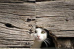 A white cat peers out from a hole in an old wooden door in Cardano, a town near Lake Como, Italy.