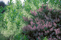 Chionanthus virginicus (Fringe Tree) and Syringa vulgaris (Common Lilac) in spring bloom together