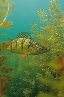 Yellow Perch (in Eurasian Watermilfoil)<br />