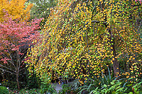 Weeping Katsura tree (Cercidiphyllum japonicum f. pendulum) in fall color Autumn  Edelson Garden