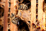 New Queen Honey Bee, hatching from queen cell within hive, being attended by workers, Apis mellifera, Kent UK